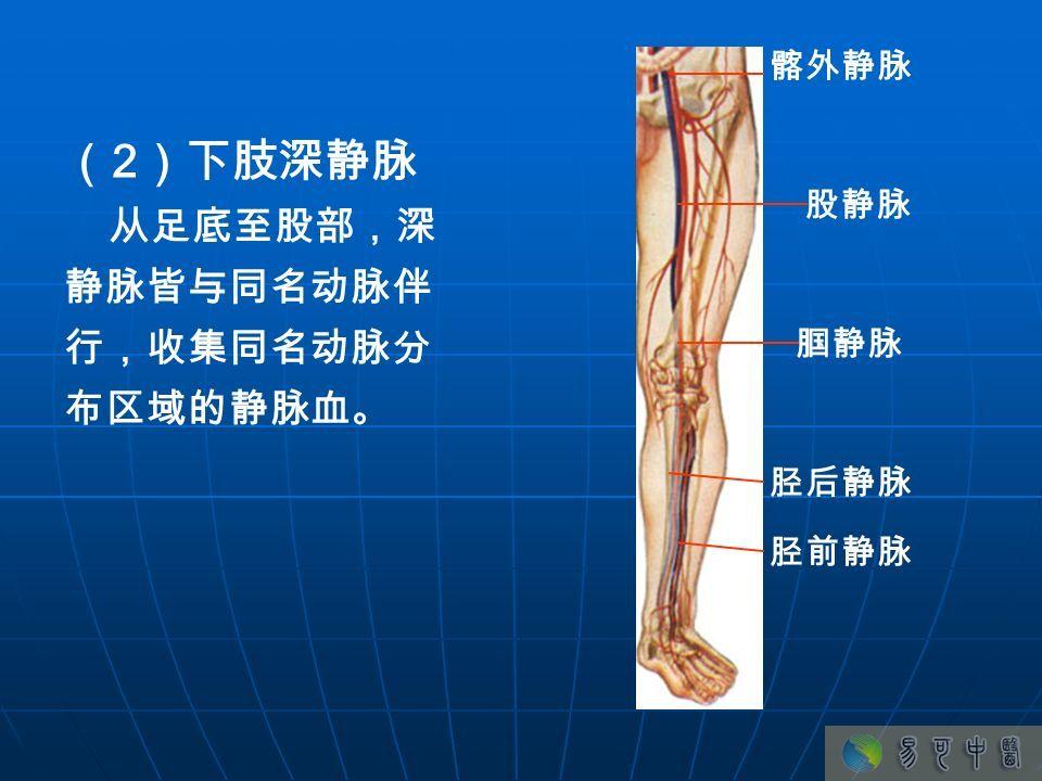 下肢静脉解刨图